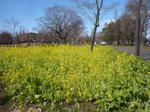 ナノハナ畑から青空の春を見る(水元公園(4))