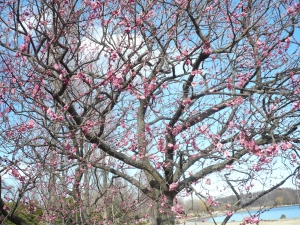 ほんのり恥ずかし、梅の花と青い空 (8)