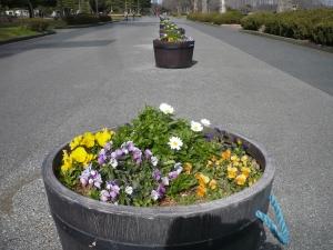 水元公園銀座通りのパンジー  水元公園(9)