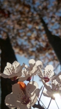 「桜に」似ているが・・・・・・。