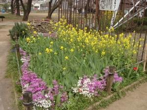菜の花も桜草も満開