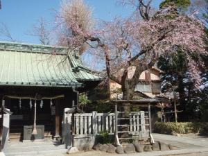 水元香取神社の枝垂桜