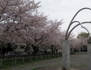 東金町5丁目さくら土手の桜 その2