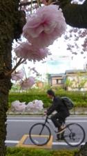 桜の通学路