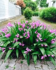 路地に咲く紫蘭