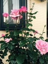 我が家に咲いた薔薇の花