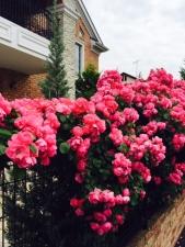 ご近所に咲いた薔薇