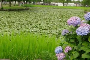 水元公園の菖蒲まつり その7