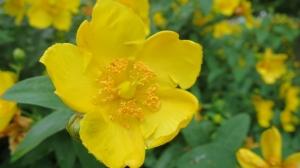 水元公園 黄色い花 その2
