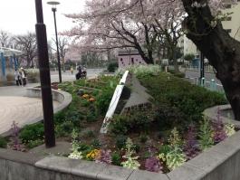 金町公園花壇と満開の桜