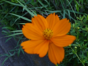 初秋の色はキバナコスモス
