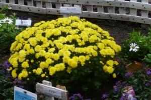 菊香る団地花壇