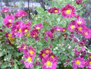 渋江公園(平和橋通り側)花壇「菊」の開花