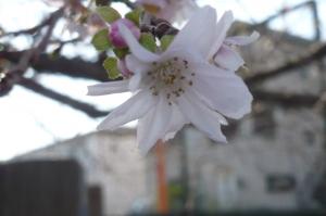 秋から咲き始める桜