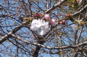 桜つぼみの桜色