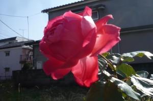 空き地の優雅なバラ