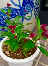 線紅花火の花