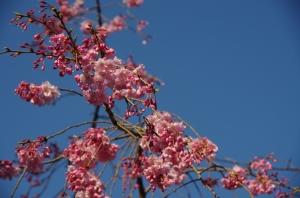 枝垂桜 金蓮院3
