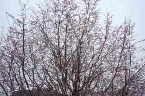 桜咲いて、そして華やかに(2)