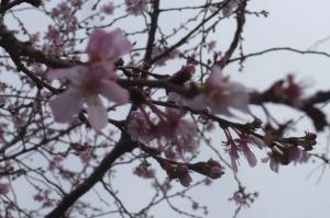 桜咲いて2017年