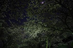 特集 夜桜2