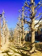 冬枯れの銀杏並木