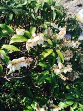 馬酔木の花