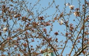 柴又公園の桜