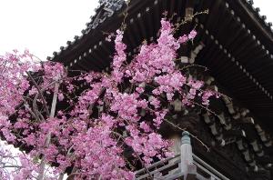 柴又帝釈天の枝垂桜1