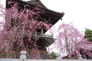 柴又帝釈天の枝垂桜3