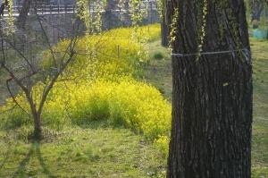 黄金に染まるナノ花畑