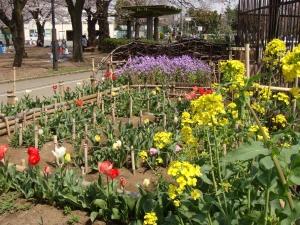秋に植えたチューリップや草花が花壇を賑やかにし始めました。