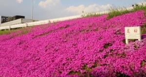 江戸川堤防の芝桜