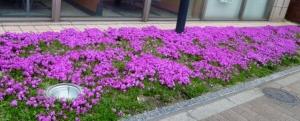 柴又街道の花 その6