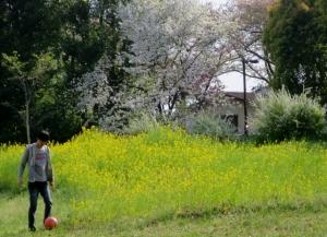 水元公園の菜の花