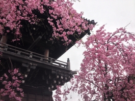 柴又帝釈天の枝垂桜