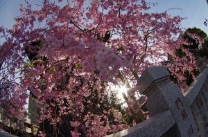 柴又帝釈天の枝垂桜 1