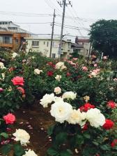 西亀有せせらぎ公園の薔薇満開!
