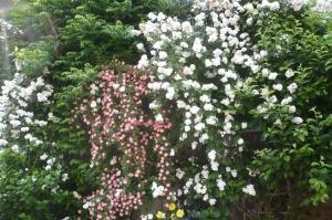 美しき5月の薔薇(1)
