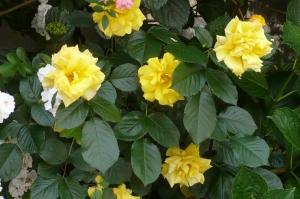 美しき5月の薔薇(3)