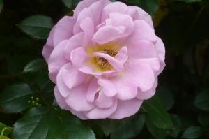 美しき5月の薔薇(5)