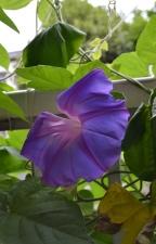 今年初開花した我が家の琉球朝顔