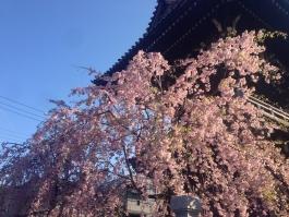 柴又帝釈天の枝垂桜 2