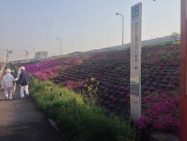 江戸川堤の芝桜