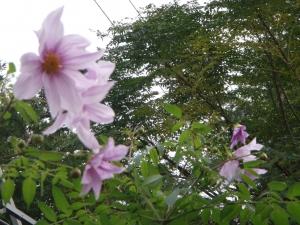 台風の被害で2年目でやっと咲きました。