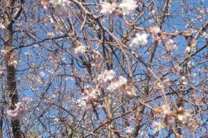 冬桜に魅せられて