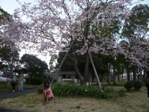 大寒桜の前で はい!チーズ (^^♪
