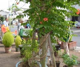 四つ木の縁側「カンカン広場」のノーゼンカズラの花