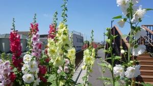 「タチアオイ」の花の道。