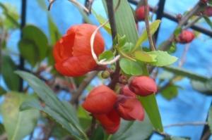 この深紅の美しい花木